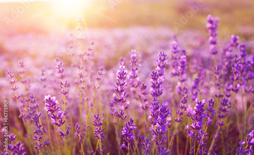 plakat Sunset over a lavender field.