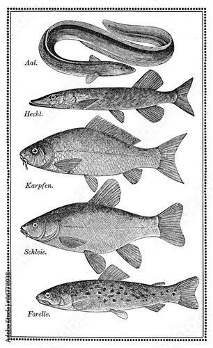 Fotografie, Tablou  Food, old fish chart with variety of eatable fishes