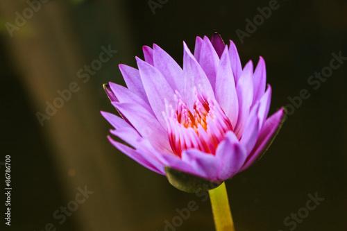 Foto op Aluminium Lotusbloem nature lotus