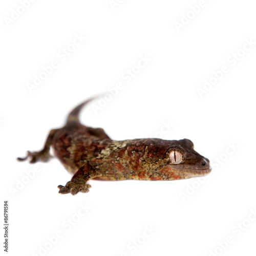 Fotografie, Obraz  Mossy New Caledonian gecko isolated on white