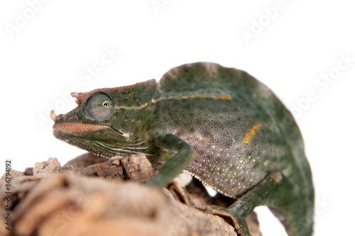 Usambara giant three-horned chameleon  on white