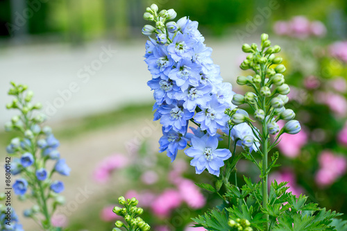 Fotografiet delphinium flower growing