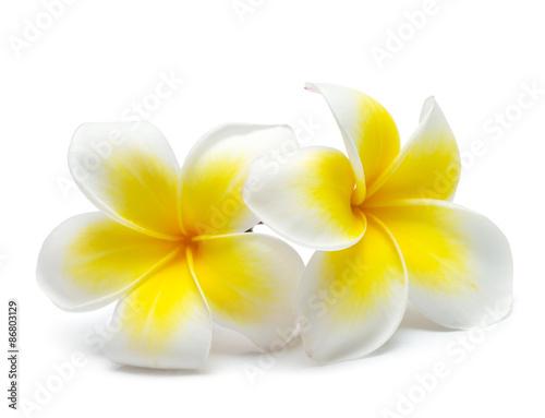 Poster Frangipani flower frangipani