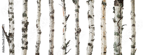 Slika na platnu Birch trunks isolated on white background