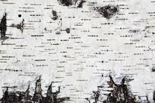 White Birch Bark Background Texture