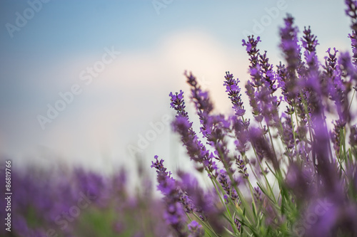 Fototapety, obrazy: Lavender Field in the summer