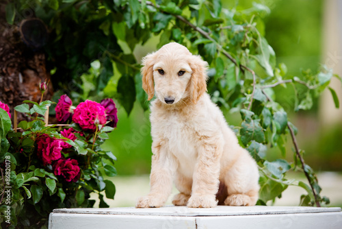 fawn afghan hound puppy sitting outdoors Wallpaper Mural