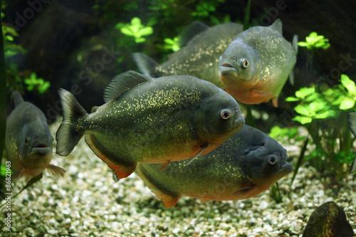 Fotografie, Obraz  Red-bellied piranha (Pygocentrus nattereri)