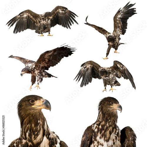 Poster Aigle Hawk, Bird, Eagle.