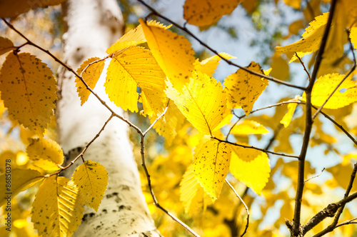 Photo  Yellow leaves in autumn forest