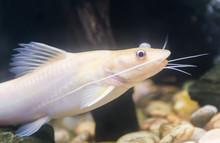 Bristlenose Pleco, Catfish Alb...