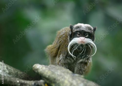 Foto op Plexiglas Aap Emperor tamarin monkey with funny mustache
