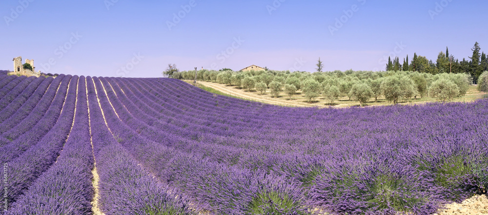 Provence: lavender fields and olive trees