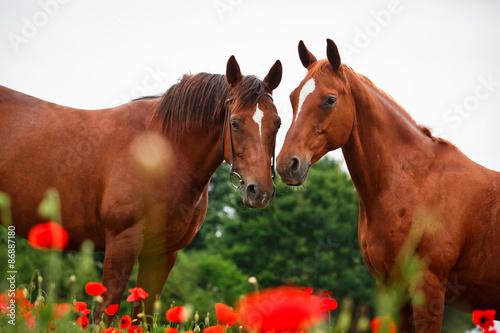 fototapeta na drzwi i meble Konie im Mohn