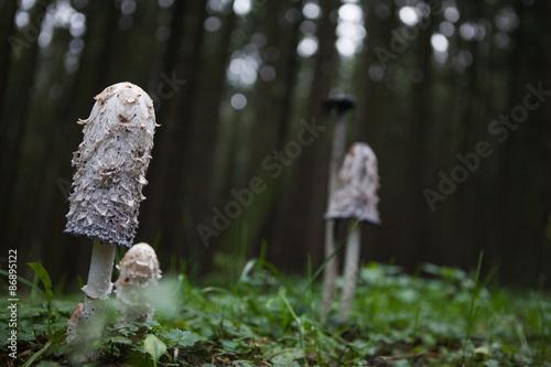 Fotografie, Obraz  mushroom