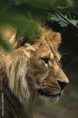 Poster Puma Barbary lion (Panthera leo leo), also known as the Atlas lion.
