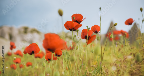 Fototapety, obrazy: Field of bright red poppy flowers in summer