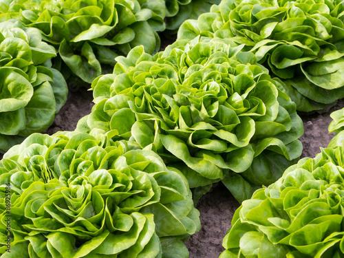 Salat - Salanova - Gemüse- Ernährung - Essen - Kopfsalat Wallpaper Mural