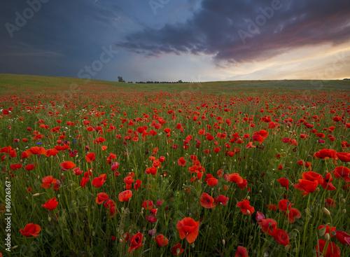 Fototapeta Sunset over poppy meadow obraz na płótnie