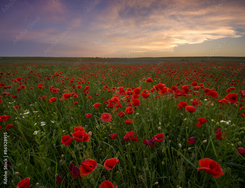 Fototapeta Sunset over poppy meadow - obraz na płótnie
