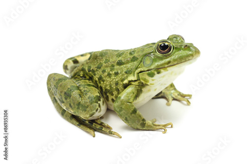 Foto op Plexiglas Kikker large green spotty frog on white background