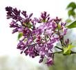 Purple, pink Syringa vulgaris (lilac or common lilac) flowers