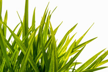 Blade Of Grass Isolated On Whi...