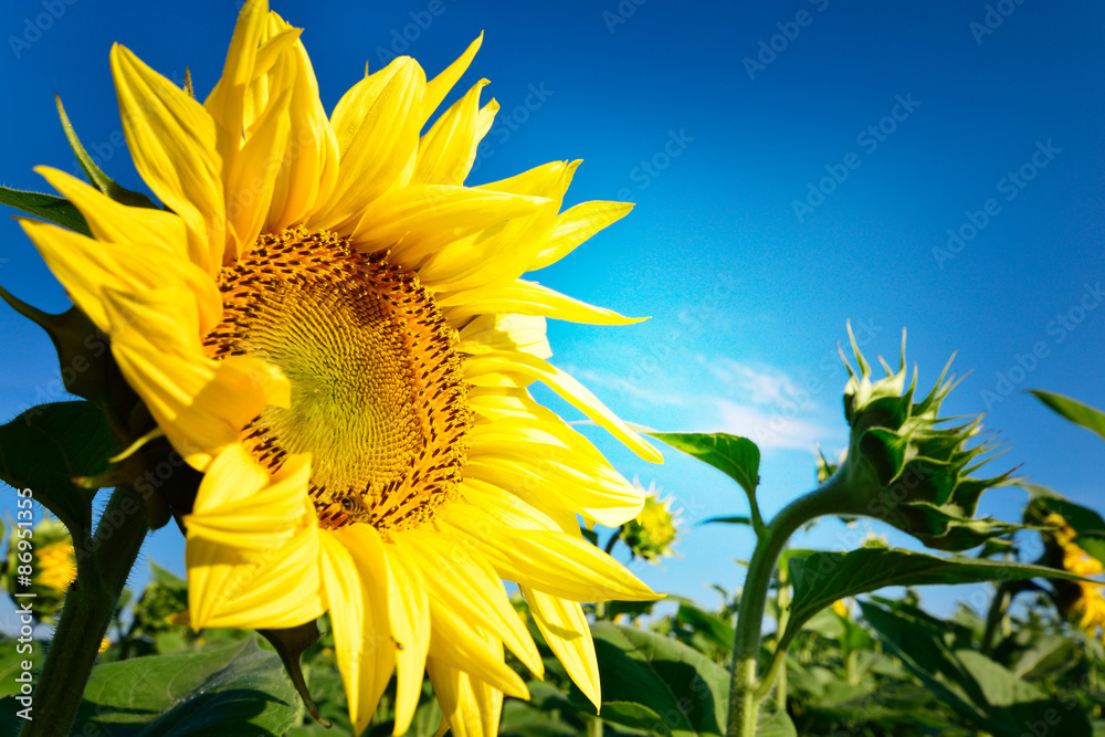 Beautiful and perfect sunflower and blue sky