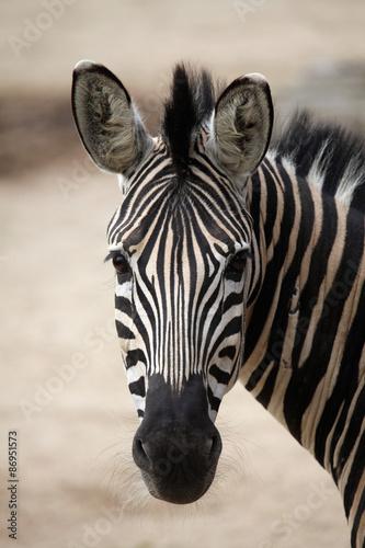 Canvas Prints Zebra Chapman's zebra (Equus quagga chapmani).