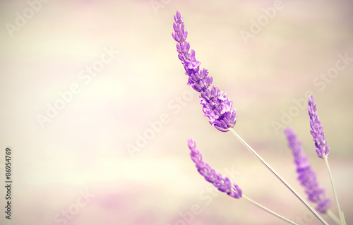 Lavender flower background with space for text. - 86954769