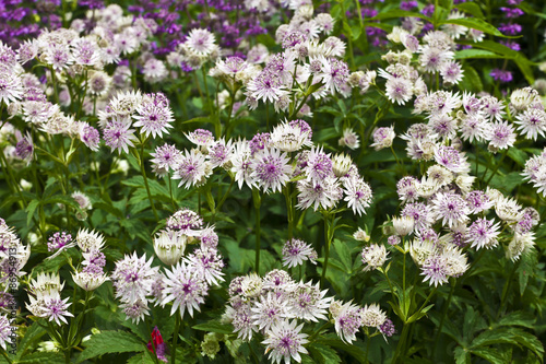 Astrantia major in a herbaceous border. Canvas Print