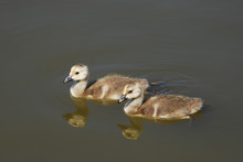 Two Canada Goose Goslings Swim...