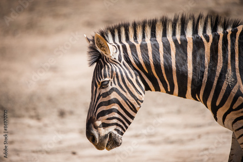 Tuinposter Zebra Zebra in South Africa