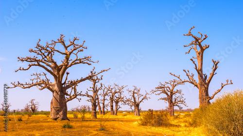 Keuken foto achterwand Baobab Baobab tree (Adansonia)