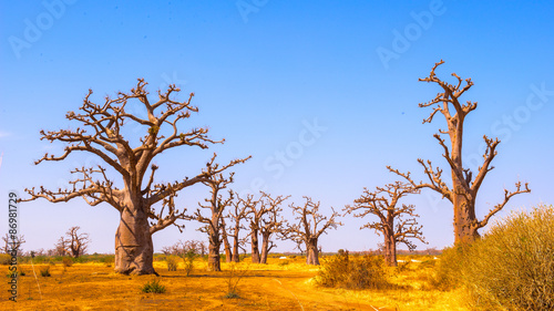 Foto auf Gartenposter Baobab Baobab tree (Adansonia)