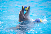 Dolphin Playing With A Yellow Ball In The Blue Water