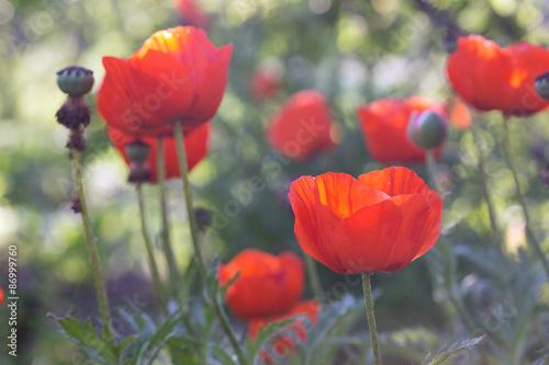 poppies field - 86999760