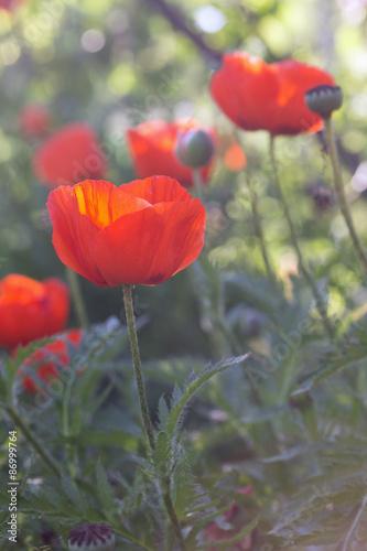 poppies field - 86999764