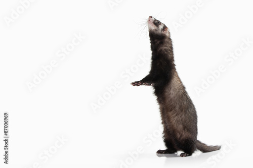Animal. Old ferret on white background Billede på lærred