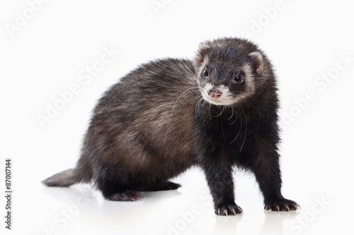 Obraz na plátne Animal. Old ferret on white background