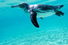 Galapagos Penguin Swimming Und...