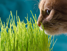 Cat Eats Grass.