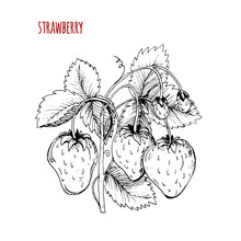 Strawberry Drawing. A Strawberry Bush On A White Background. Vec