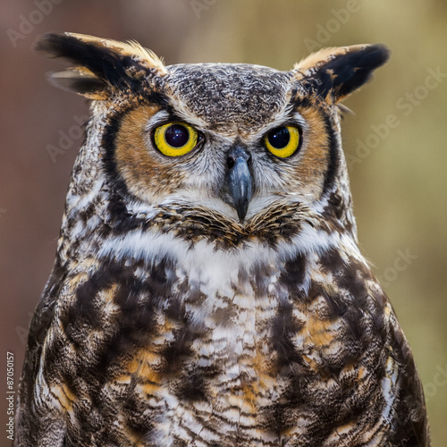 Fotografie, Obraz  Great Horned Owl Portrait