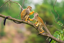 Common Squirrel Monkeys  Playing On A Tree Branch