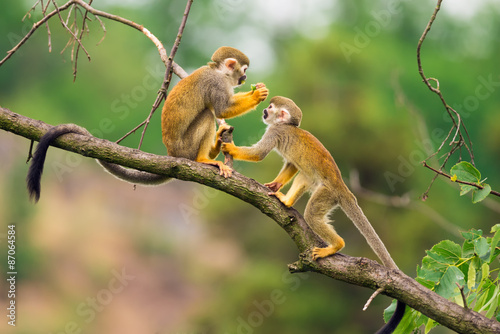 Fotoposter Aap Common squirrel monkeys playing on a tree branch
