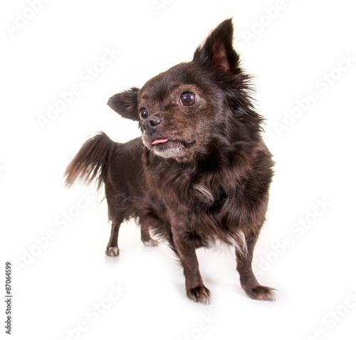 Fototapeta Schwarzer kleiner Hund zeigt Zungenspitze