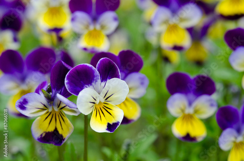 Poster Pansies Pansies in a spring garden