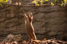 Prairie Dog Gopher Trying To Reach Branch
