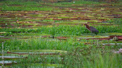 Fotografija  Birdl and Victoria Regia plant over river